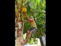 Patrick Bromley picks a jelly coconut from a tree on his farm.